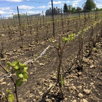 M-Cellars-Vineyard-Chardonnay-Budbreak