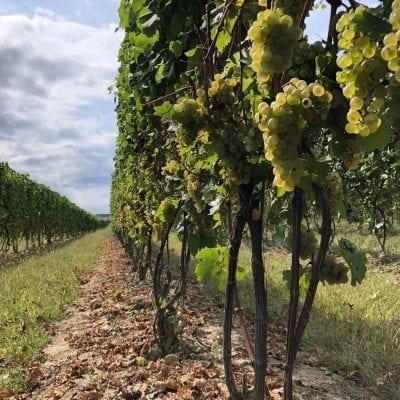 M-Cellars-Riesling-Harvest