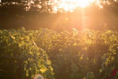 m cellars sunset