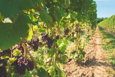 homegrown vineyard
